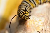 A Genuine Monarch Butterfly Caterpillar