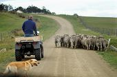 stock photo of mustering  - Farmer riding on Four Wheel Motorbike herding Australian Merino Rams along dirt road - JPG