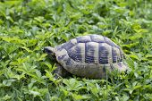 picture of green turtle  - Brown turtle creeps onBrown turtle creeps on green grass sunny summer afternoon - JPG