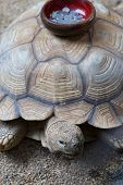 foto of turtle shell  - Coin collection bowl stick on the shell of Turtle  - JPG