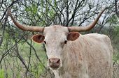 foto of mesquite  - Longhorn cow in a mesquite native pasture - JPG