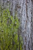 stock photo of coexist  - Tree trunk with green moss taking over grey bark; Closeup