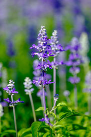 picture of lobelia  - Beautiful Lobelia blue at a garden in the afternoon - JPG