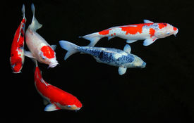 stock photo of koi fish  - Looking down on five koi fish in a pond - JPG