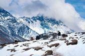 picture of yaks  - Yak in the mountains - JPG