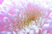 picture of chrysanthemum  - Close Up Image of the Beautiful Pink Chrysanthemum Flower - JPG