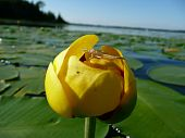 pic of exoskeleton  - Clear exoskeleton on an insect lying on a yellow pond lily in a lake - JPG