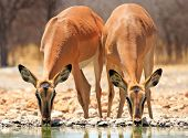 stock photo of wild adventure  - 2 black faced impala drinking from the camp waterhole - JPG