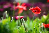 stock photo of opium  - Closeup of Red Opium Poppy flower in the field - JPG
