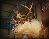 stock photo of deer head  - Close up deer head on wooden wall  - JPG