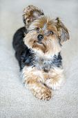 pic of yorkshire terrier  - Cute little yorkshire terrier with floppy ear - JPG