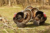 foto of wild turkey  - Three wild tom turkeys during the spring in their natural environment - JPG