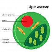 stock photo of algae  - Vector illustration of algae structure with description - JPG