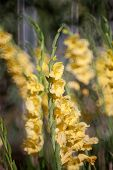 image of gladiolus  - yellow colour of Gladiolus flower in the garden - JPG