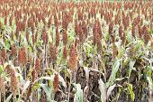 image of sorghum  - field of sorghum named also durra jowari or milo - JPG