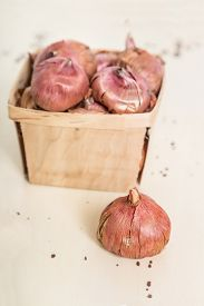 picture of gladiola  - Gladiola bulbs ready to plant in the springtime garden - JPG