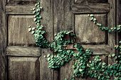 picture of creeper  - creeper plants on a wooden door background - JPG