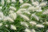 stock photo of fountain grass  - Garden with Close Up of Fountain Grass - JPG