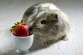 picture of guinea pig  - guinea pig eating a strawberry - JPG