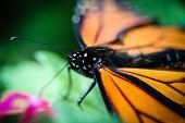 picture of monarch  - A colorful orange Monarch Danaus Plexippus butterfly - JPG