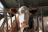stock photo of dairy barn  - head of cow in his barn - JPG