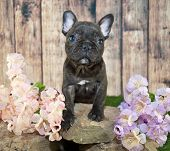 image of french bulldog puppy  - Tiny little French Bulldog puppy standing on rocks with flowers around her - JPG