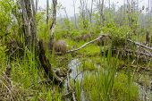 picture of swamps  - Foggy overgrown swamp or marsh woods early in the morning - JPG