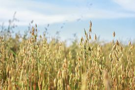 stock photo of oats  - Common oat or Avena sativa cereal ears are standing in farm field at blue sky background  - JPG