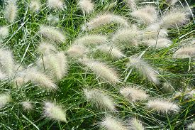 picture of fountain grass  - Garden with Close Up of Fountain Grass - JPG