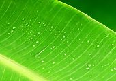stock photo of banana tree  - fresh green banana leaf with water drops - JPG