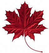 stock photo of canada maple leaf  - close - JPG