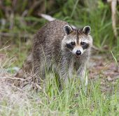 picture of rabies  - Raccoon with green and brown grass background - JPG