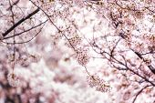 Cherry Blossoms In Seoul South Korea poster