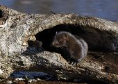 image of hollow log  - Mink in hollow log at river - JPG