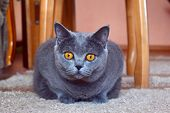 British Cat. Portrait Of British Cat With Big Yellow Eyes. View Of Domestic British Cat Looking On C poster