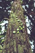 Green Moss And Parasitic Plants Covered On A Tree Trunk In Forest. This Plant Is Scientifically Know poster