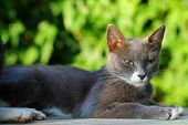Gray Cat Lying Outdoor On Green Blurred Background. Portrait Of Gorgeous Domestic Kitten Detail On W poster