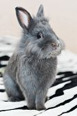 Gray Bunny Fluffy Rabbit Baby Sitting On Carpet. Portrait Of Cute Domestic Rabbit Cub On Sofa At Hom poster
