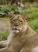 Lioness Looks At The Viewer