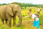 Elephant Experience. Tourist Man Touchs And Photograph An Elephant In Plettenberg Bay, Western Cape  poster