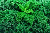 Fresh Organic Kale. Green Background, Healthy Eating Concept, Vegetarian Food. Copy Space. poster