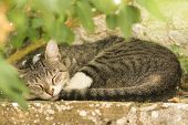 Tabby Cat Sleeping Outdoors In A Green Environment In A Garden poster