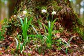Spring Snowflake Flowers Leucojum Vernum Blooming In Sunset. Early Spring Snowflake Flowers In March poster