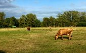 Huge Pedigree Long Haired Bulls Grazing In The Sun On A Summer Meadow poster