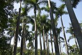 Palm Trees Alley On A Sunny Day. Coconut Palms Against The Sky. Coconut Palm Green Leaves In Perspec poster
