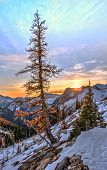 Yellow Golden Larch Tree On Cliff  Covered With First Snow With  Sunset Sky At The Background In Nor poster
