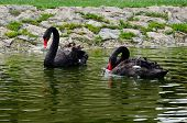 foto of black swan  - Pairs of black swans live to 70 years - JPG