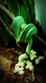 stock photo of laying eggs  - Green emerald snake laying more number of eggs hanging from a branch - JPG