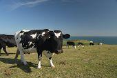 Cow Grazing On Ballard Down Above Corfe On The Dorset Coast poster