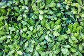 Green Leaves, Tiny Green Leaves, Natural Green Background. Green Leaf Texture Closeup. poster